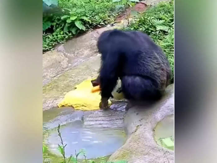 Chimpanzee video goes viral, washes clothes like humans